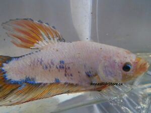 Giant Halfmoon Plakat Bettas (Males & Females)
