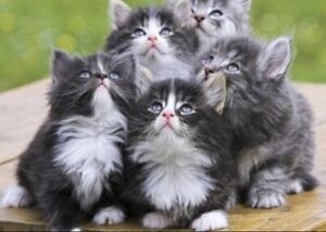 In search of a long haired kitten/young cat!