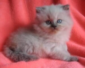 Looking for a blue point himalyan kitten