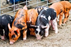 Heritage breed pigs wanted