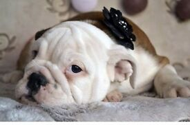 4 months old English Bulldog