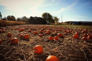 Pumpkins available now