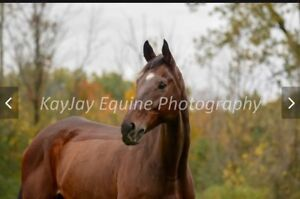 Beautiful gelding for sale $1000