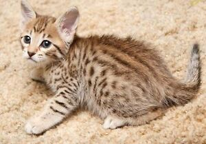 Male and Female bengal kittens ready