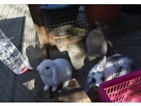 SELLING ADORABLE BABY RABBITS MINI LOP X