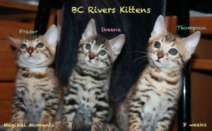 Golden Boys....2 Bengal Kittens (purebred)