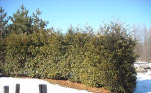 Cèdres pour haie / Hedge cedars