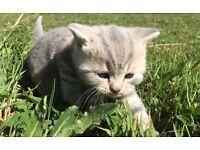BRITISH SHORTHAIR BLUE SPOT/TABBY PEDIGREE KITTENS