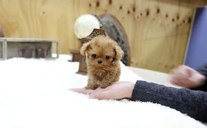 Looking for a Teacup/very small puppy/dog