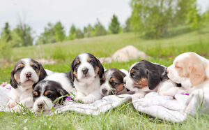 Adorable Baby Beagles For Sale