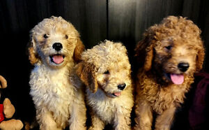 Adorable Golden doodle Apricot/Red puppies! !