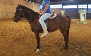 48 inch pony gelding