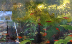 tropical fish - red sword tail for sale or trade-in ?