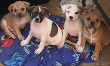 Staffordshire Bullterrier Pups Cambridge Park Penrith Area Preview