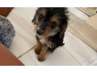 Dachshund x poodle puppies