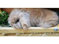 Male mini lion lop