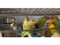 Colourful budgies for sale