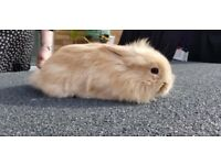 MINI LION LOP BABY BUNNy