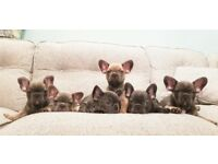 Health tested Lilac producing French Bulldog puppies from £1k
