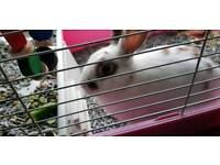 Beautiful Rhinelander/English Spot rabbit for sale