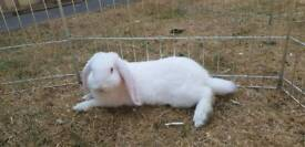 2 white french lops