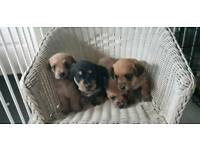 Doxie-Chon puppies