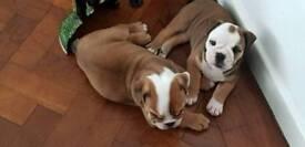 Adorable chunky British Bulldog puppies