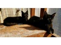 2Maine Coon kittens boy Black