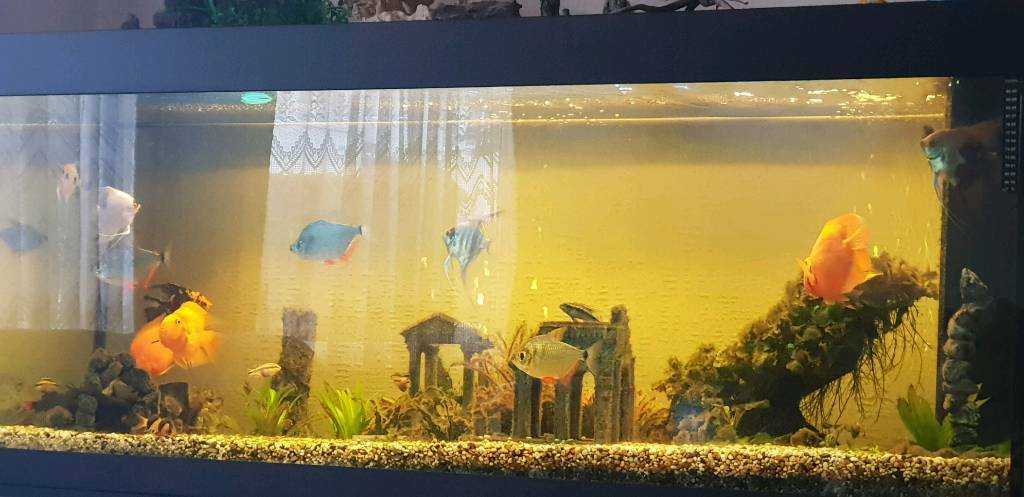 Tropical fish for sale | in Edgware, London | Gumtree