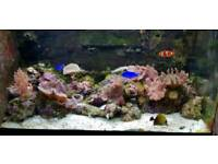 Red sea Max 250 full set up marine fish tank