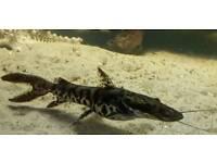 Tiger shovel nose catfish 8 inch £30