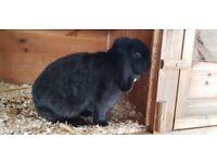 3 Mini-lop rabbits for sale