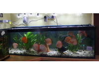 Discus Fish with Tank and Full Set-Up