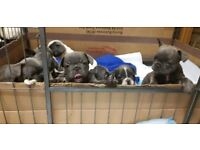 Stunning Geourgs KC Blue French Bull Dog Puppies