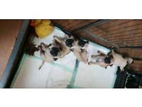 3/4 pug puppies ready now