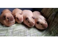 Californian guinea pigs