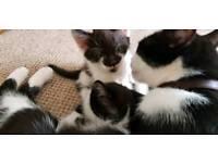 Kittens black and white