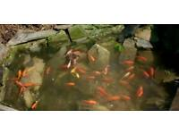 Pond fish WANTED FREE