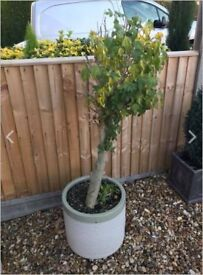 Hibiscus Plant and Plant Pot for sale