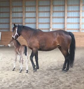 Beautiful Mare and Filly For Sale