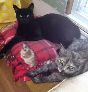 Midnight And Tiffany. Best Friend Cats For Adoption