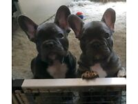 STUNNING FRENCH BULLDOGS !!