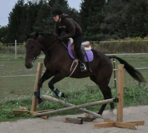 16.3 gelding available for part board