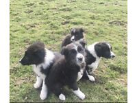 Border Collie Beautiful Sheepdog Puppies