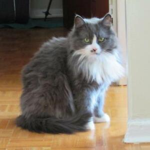 "Young Female Cat - Domestic Long Hair: ""Trudy"""