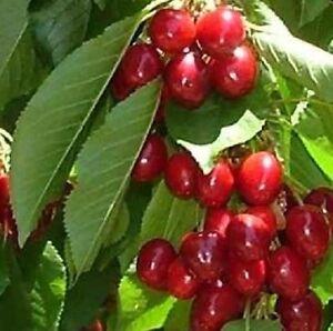 STELLA CHERRY FRUIT TREE 4-5FT, SELF FERTILE & READY TO FRUIT & SWEET *