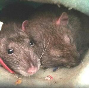 "Adult Female Small & Furry - Rat: ""Ella & Spirit"""