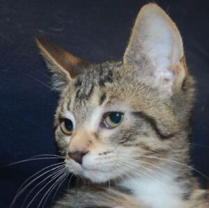 """Baby Female Cat - Domestic Short Hair: """"Squirt"""""""