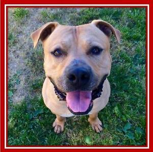 """Adult Male Dog - Pit Bull Terrier: """"Tyko"""""""