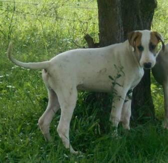 Bullarab pup